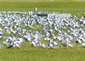 LSLBO report: Gulls, gulls and more gulls. Answers to some common questions