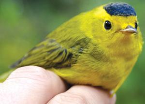 Above average numbers for the 'black-capt' warbler