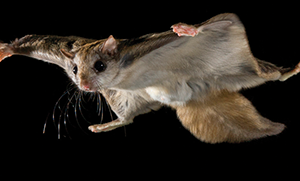 LSLBO report: Flying squirrel the only highlight from this week