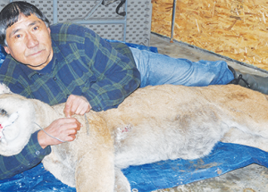 """My God, it's a cougar!"" Salt Prairie trapper snares big cat"