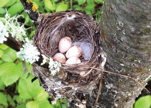 The telltale signs (brood patches) of nests lost in a storm