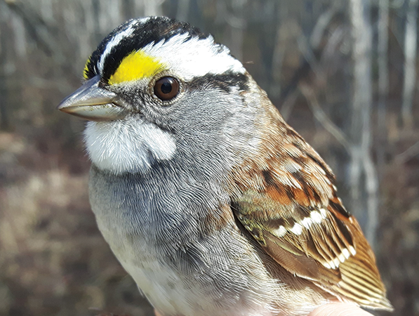 Bird report: More songbirds trickling through daily, as weather warms