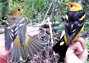 Bird report: Banding operations disrupted by storm, highway washouts