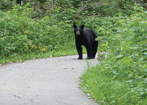 Bears everywhere; town closes trails