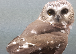 Bird report: Penetrating the 'cloak of mystery' around nocturnal owls