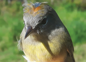 Bird report: One of the busiest fall banding seasons on record