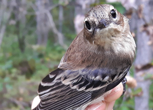 Busiest fall migration comes to a close with 3,739 birds banded