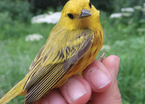 Bird report: Cheerful yellow warblers bring pops of colour to the boreal