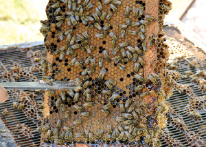 Beekeeping on a small scale near Slave Lake