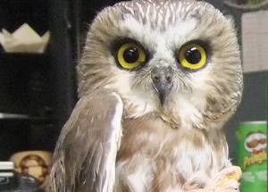 Bird report: Owl banding begins