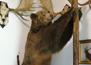 Local animal collection used in grizzly research