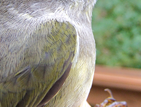Later-migrating warblers have omnivorous eating habits